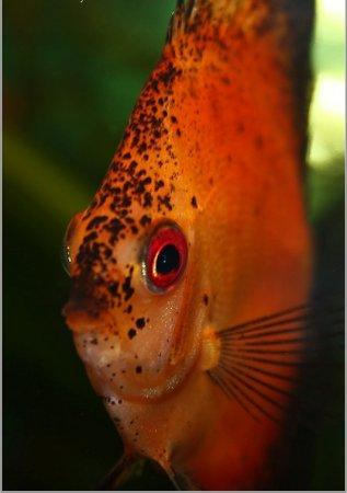 Приплюснутая рыбка