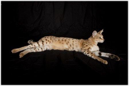 Самая длинная кошка в мире