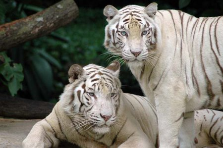 С новым годом! С годом белого тигра!
