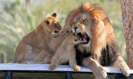 Львиное воспитание