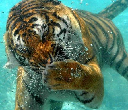 Подводный тигр