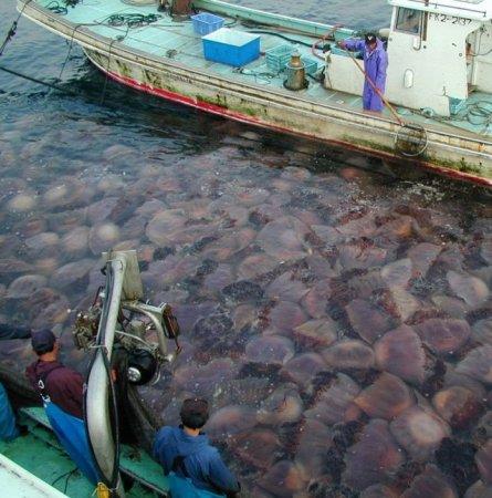 200 килограммовые медузы