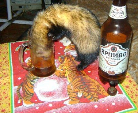 Хорёк - любитель пива