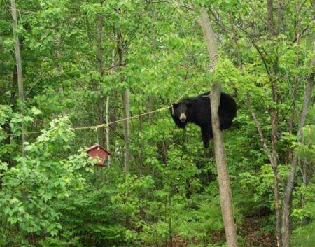 Медведь-воришка