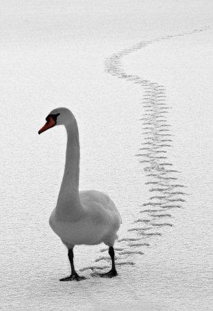 Косолапый лебедь