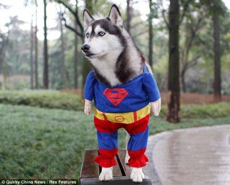Хаски-супермен спешит на помощь!