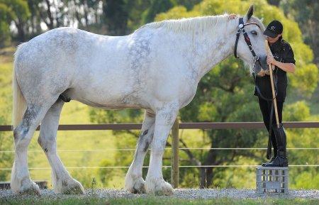 Нодди - самая большая лошадь