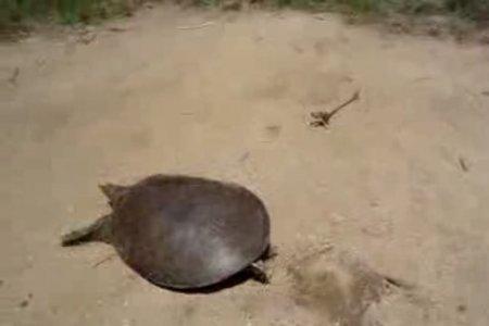 Бывают и шустрые черепахи