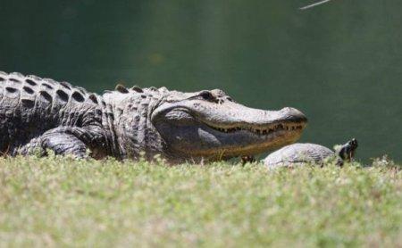 Дружба крокодила и черепахи