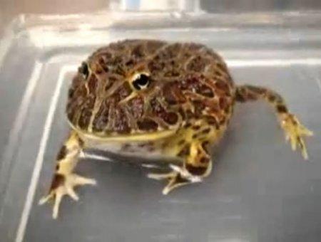 Агрессивная жаба