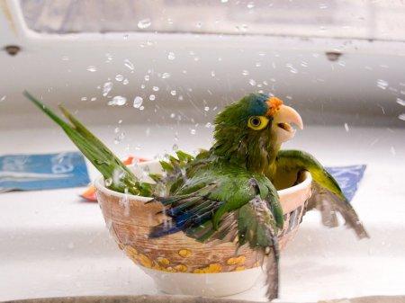 Купание зелёного попугая