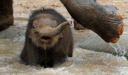 Трёхнедельный слонёнок
