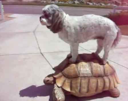 Собака оседлала черепаху