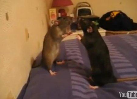 Гипно-крысы