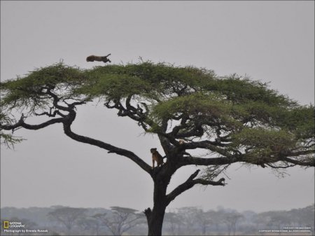 Прыжок леопарда
