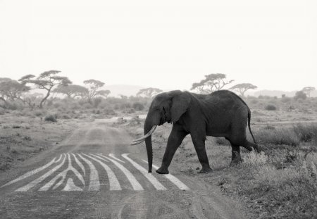Слоны тоже следуют ПДД