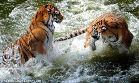 Забавы тигров
