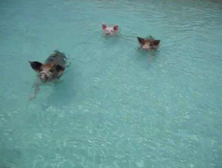 Свиньи тоже умеют плавать!