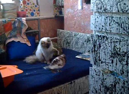 Нападение голубя на кота