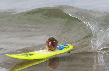 Мышка-сёрфер