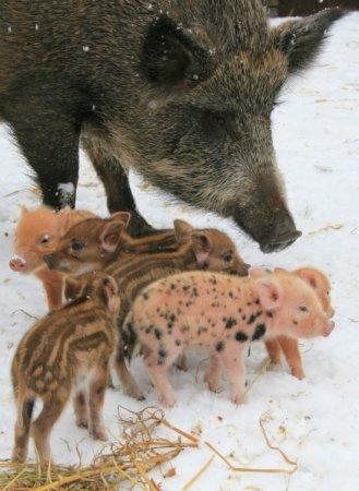 Загулявшая свинья