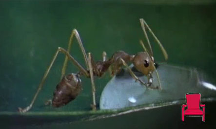 Как пьют муравьи