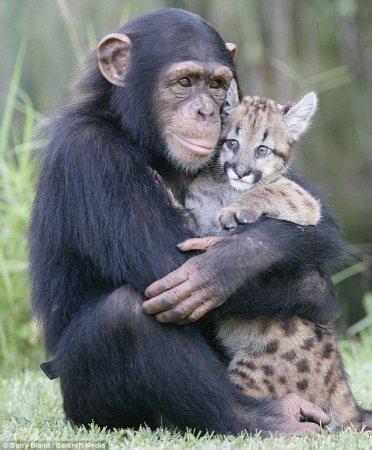 Шимпанзе и пума (фото + видео)