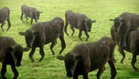 Танцующие коровы