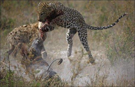 Гиена, леопард и бородавочник