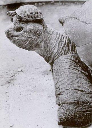 Дозорная черепаха