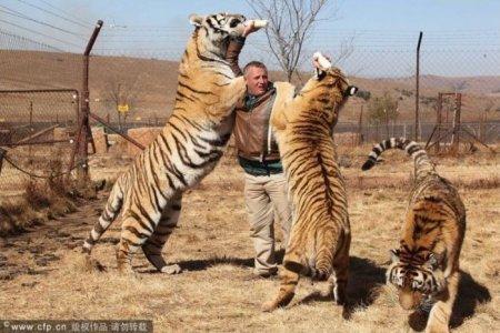 Любовь тигров к человеку