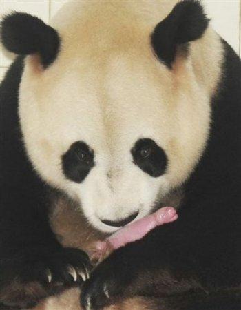 Панда и новорожденные малыши