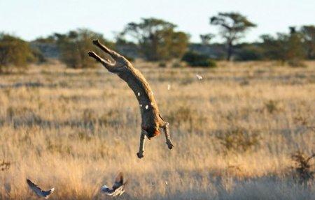 Акробатическая охота на голубей