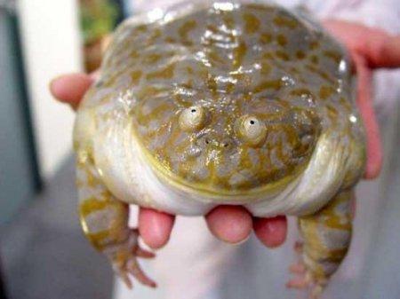 Жаба-улыбака