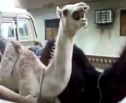 Пощекочи верблюда!