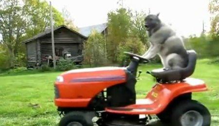 Собака-газонокосильщик