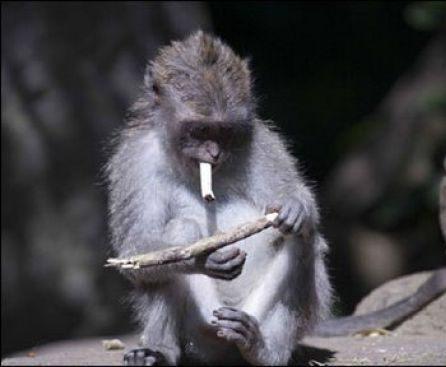 Курящие обезьяны