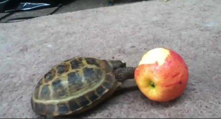 Любительница яблок