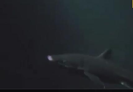 Осьминог против акулы