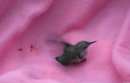 Спасение колибри