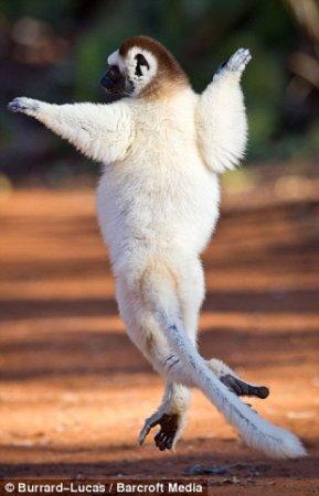 Танцующие лемуры