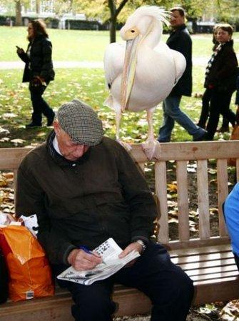 Дружба пеликана и человека