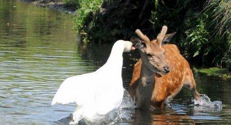Лебедь против оленя