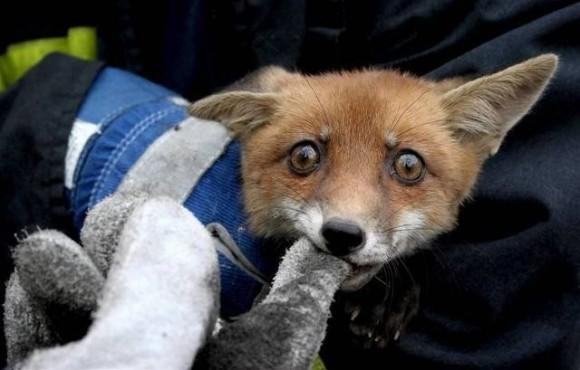 картинки прикольные лиса