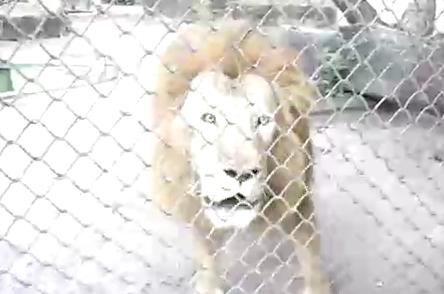 Разговорчивый лев