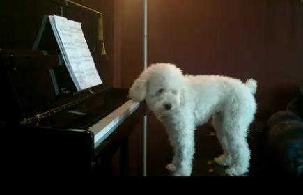 Пудель-музыкант