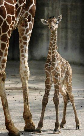Забавные детеныши жирафа