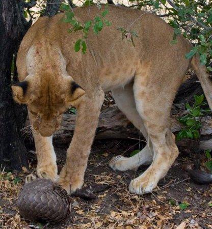 Голодная львица и панголин