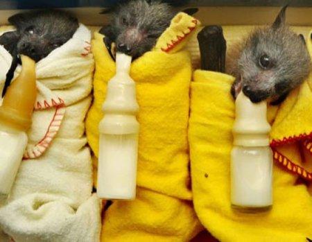Летучие мыши - малютки