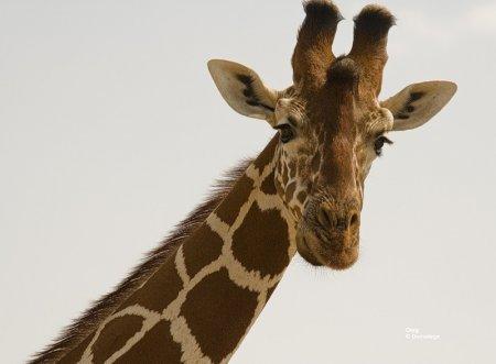 Жираф из Сомали